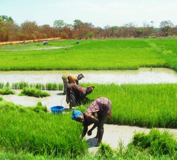 Los campos de arroz de Guinea Bissau.